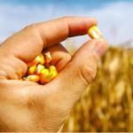 Revista Campo & Negócios – Sementes de milho reanalisadas garantem uma planta mais produtiva