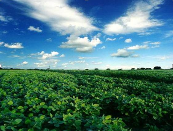 campo de soja 2